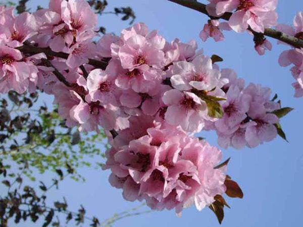 cseresznyeszilva_oth_1700-4_vbig